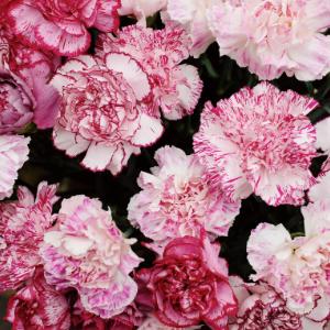Carnation – Little Pink 小粉大丁 (20 stalks) [CN]