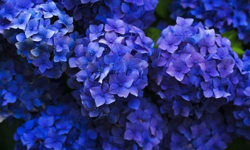 hydrangea wholesale flowers