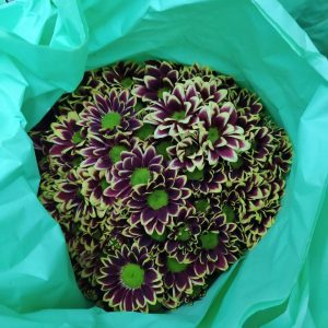 MACH006 Chrysanthemum  Pompom  1 Bundle [MA]