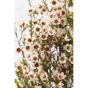 Wax Flower White (1 bundle) [CN]