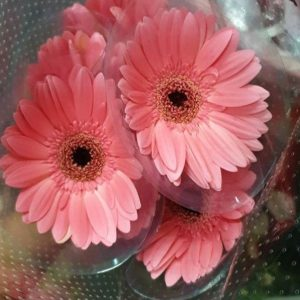CNG001 Gerbera Mini Assorted Colors 5 Stks [CN]