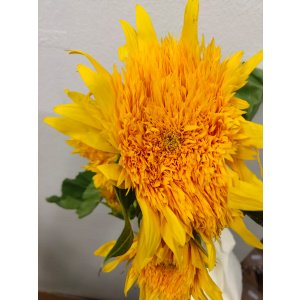 CNS003 Sunflower Sunflower Teddy  5 STKS (Can Choose) [CN]