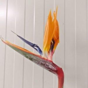 Bird of Paradise [5stlk]
