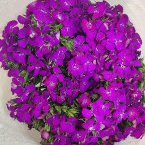 [CNDS] Dianthus Barbatus [CN]