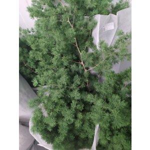 CNMF001 Asparagus Umbellatus (Ming Fern)  1 Bundle [CN]