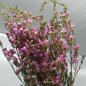 CNWX001 Wax Flower Assorted Color  1 Bundle [CN]