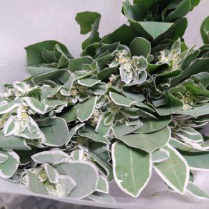 CNEM001 Euphorbia Marginata   1 Bundle [CN]