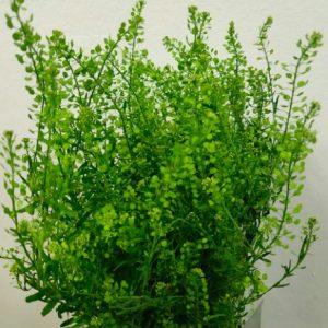 Thlaspi Lepidium (10 stalks) [MA]