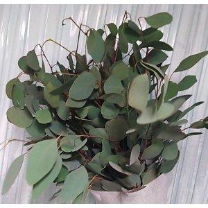 Eucalyptus – Populus 圆叶尤加利 (1 bundle) [CN]