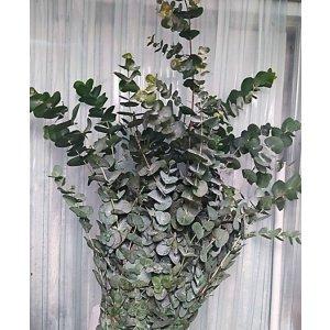Eucalyptus – Cinerea 大叶尤加利 (1 bundle) [CN]
