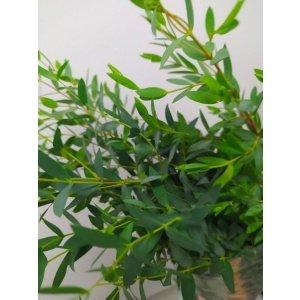 Eucalyptus – Mini 迷你小叶尤加利 (1 bundle) [CN]