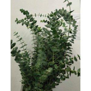 Eucalyptus – Baby Blue 中叶尤加利 (1 bundle) [CN]