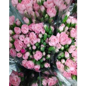 Carnation Spray – Light Pink 多头康乃馨 (1 bundle) [CN]