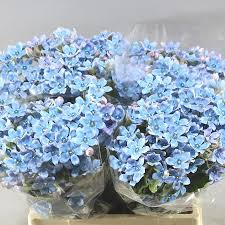 Oxypetalum Blue 蓝色兰星花 ( 1 bundle) [CN]