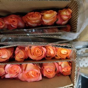 Rose No Net – Golden Light 金辉玫 (20 stalks) [CN]