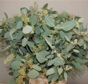 Eucalyptus – Populus Berry 带果圆叶尤加利 (1 bundle) [CN]