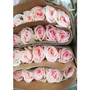 Rose No Net – Litchi Pink 粉荔枝玫 (20 stalks) [CN]