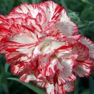 Carnation – White/Red 伊人大丁 (20 stalks) [CN]