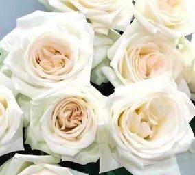 Rose No Net – Litchi White 白荔枝玫 (20 stalks) [CN]
