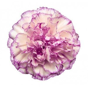 Carnation – White/Violet 飞蝶大丁 (20 stalks) [CN]