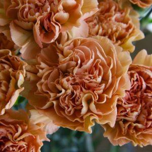 Carnation – Cappuccino 卡布奇诺大丁 (20 stalks) [CN]