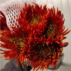 Chrysanthemum Fireworks 烟花菊 (1 bundle) [CN]