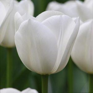 Tulipa – Royal Virgin 郁金香 (10 stalks) [Holland]