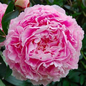Paeonia Sarah Bernhardt 牡丹/芍药 (3 stalks) [Holland]