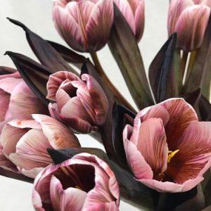 Tulipa – Dyed Brownies 郁金香 (10 stalks) [Holland]