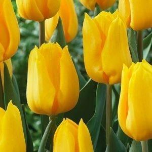 Tulipa – Yellow Flight (10 stalks) [HOLLAND]
