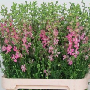 Consolida Delphinium Sydney Rose (5 stalks) [Holland]