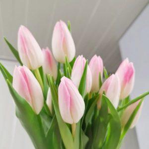 Tulipa – First Class 郁金香 (10 stalks) [Holland]