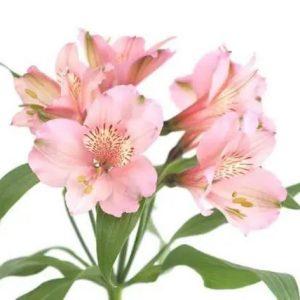 Alstroemeria – Light Pink (10 stalks) [KE]