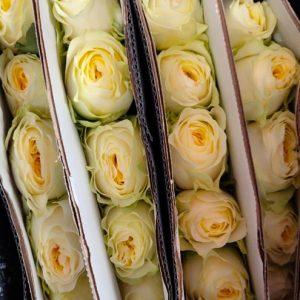 Rose No Net – Cream Cup 奶油杯玫 (20 stalks) [CN]