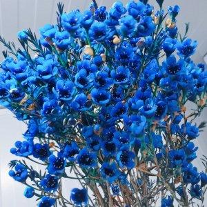 Wax Flower Blue (1 bundle) [CN]