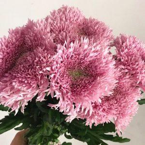 Teddy Chrysanthemum 粉色面包菊 (1 bundle) [CN]
