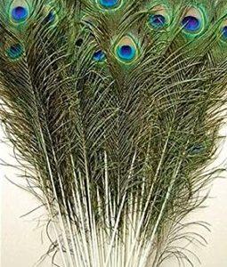 Peacock Feathers (5 stalks)
