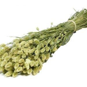 Phalaris Dried Naturel (1 bundle)